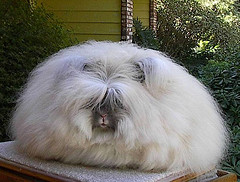 Fluffy white English Angora rabbit