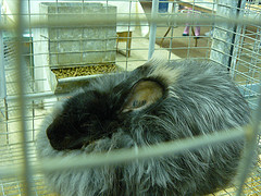 German angora rabbit in cage