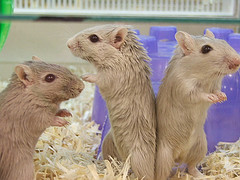 a trio of gerbils