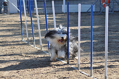 dog agility training with  dog weaver poles