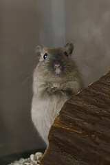 grey gerbil