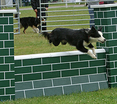 dog leaping wall