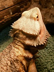 bearded dragon close up