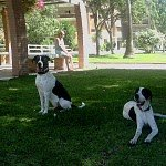 pointer dogs in the park